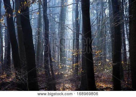 Dense forest with thick tree trunks and delicate yellow leaves illuminated by the sun in blue morning light