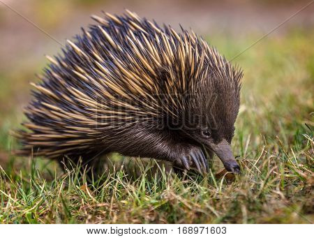 A green jumping spider short-beaked echidna (Tachyglossus aculeatus)