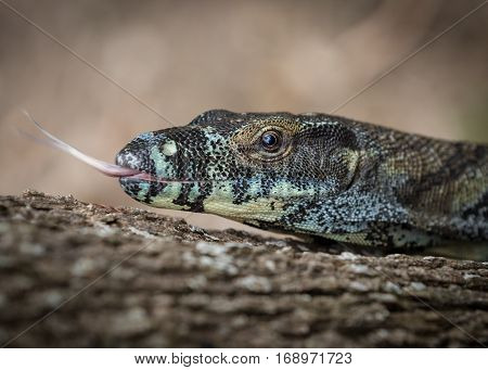A close up of a Lace monitor (Varanus varius)