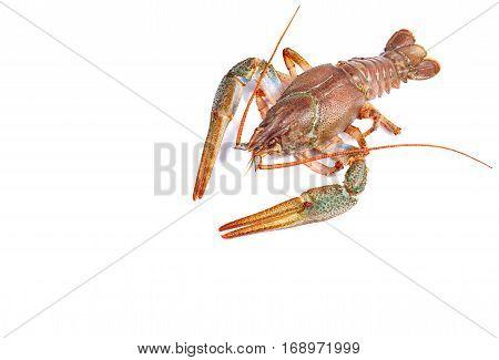 Crayfish isolated on white background. Close up