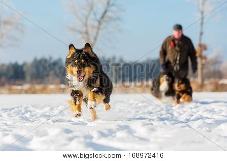 Australian Shepherd Dog Runs In The Snow