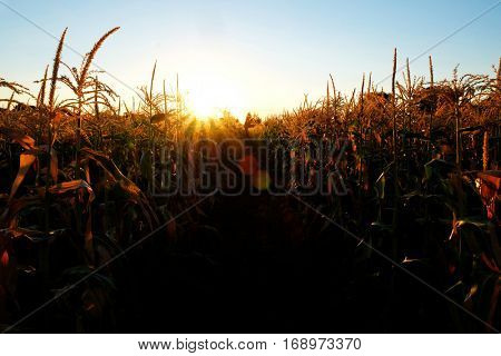 Crop of corn in cornfield field grain growing farming
