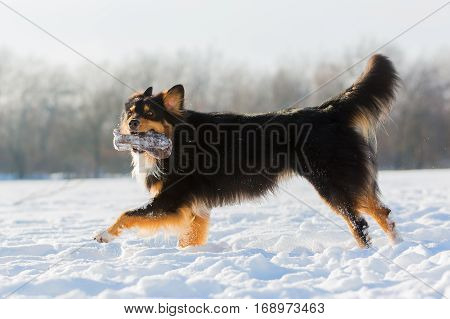 Australian Shepherd Dog Runs With Feed Bag In Snow