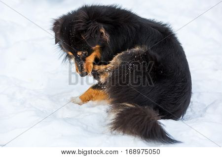 Dog In Snow Is Gnawing At The Paw