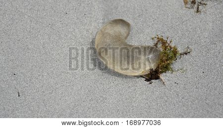 See through jellyfish in the sands. One small transparent jellyfish out of water on coarse colorful sand sea beach under the bright sunshine close up high angle view.