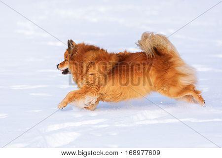Elo Dog Runs In The Snow