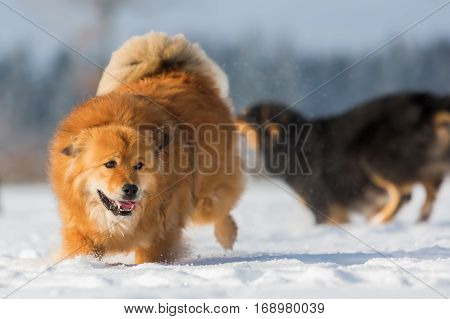 picture of an Elo dog running in the snow