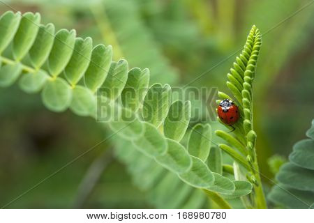 Red Lady Bug insect in green lush ferns nature background