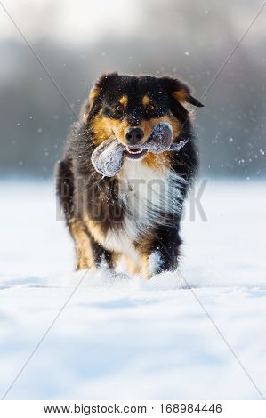 Dog With Treat Bag In The Snout In Snow