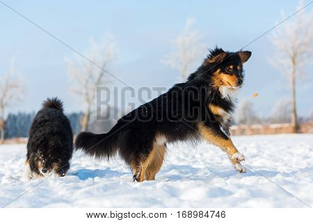 Dog In The Snow Jumping For A Treat