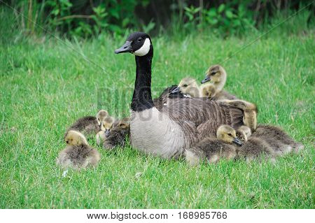 Canada goose mother and young goslings on the green meadow