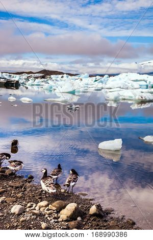 The Icelandic geese are grazed on the bank of lagoon. Sunrise illuminates the glacier Vatnajokull and water of Ice Lagoon Jokulsarlon. The concept of northern ecotourism