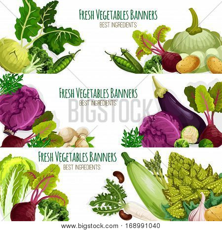 Vegetables banners set of organic fresh veggies. Vector kohlrabi, broccoli and green pea or bean, beet, potato and squash zucchini or patisony, eggplant and chinese or red cabbage, champignons, arugula and romanesco broccoli. Farm food harvest