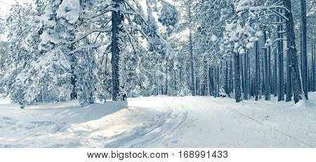 snowy pine woods in the Etna Park, Sicily
