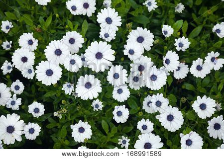 Blooming daisy flowers natural background