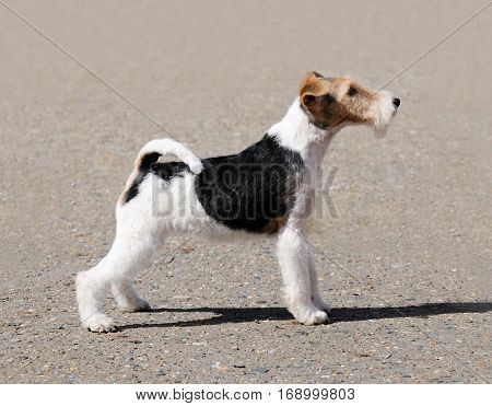 Young Fox terrier dog standing over blurry background