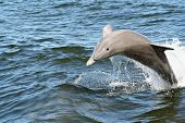A dolphin jumping out of the water in a bay near Orange Beach AL. poster