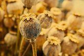 Dried poppy head. Opium drugs plant head poster