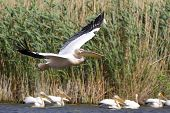 White Pelican (Pelecanus Onocrotalus) Flying Over The Lake poster
