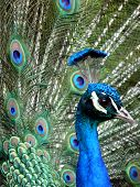 close-up portrait of beautiful peacock seen from side poster