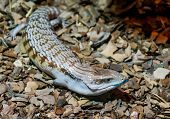 skink poked his blue tongue, not a big lizard, brown poster