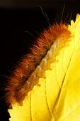 Caterpillar on yellow leaf poster