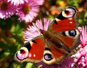 Beautiful european butterfly Inachis Io in autumn flower Aster Dumosus poster