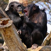Two adult chimpanzees diner and talking in Zoo Pilsen - Czech Republic - Europe poster