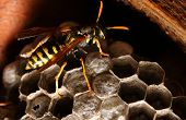 A wasp and its honeycomb poster