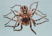 An adult female wolf spider is sitting on a mirror. poster