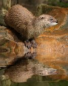 Eurasian otter on river bank poster