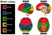 Human Brain Anatomy Set of Lateral Sagittal Superior Inferior Views with all lobes Frontal Parietal Temporal Occipital Limbic anatomical science education nervous system route spinal cord start vector poster
