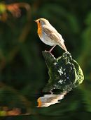 The European Robin above water level. poster