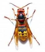 Close-up of a live European Hornet (Vespa crabro) on white background. Macro shot with shallow dof. poster