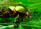 Rose chafer ( Cetonia aurata) on a meadows - macro with shallow DOF. poster
