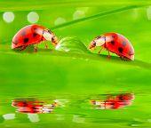 Ladybugs drinking fresh morning dew. poster