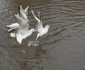 This group of Common gulls in flight was captured at Slimbridge WWT in the UK. poster