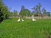 geese on meadow near fence poster