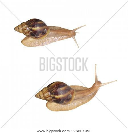 close up shot of snails on white background poster