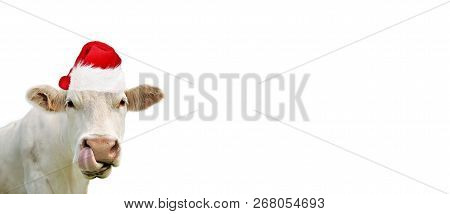 Funny Portrait Of Cow Wearing A Santa Claus Hat Isolated On White Blackground