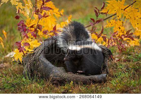 Striped Skunk (mephitis Mephitis) Stomps Feet On Log - Captive Animal