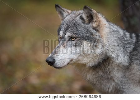 Grey Wolf (canis Lupus) Profile Left Autumn - Captive Animal