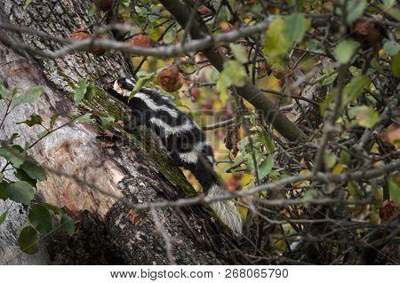 Eastern Spotted Skunk (spilogale Putorius) Climbs Up Apple Tree - Captive Animal