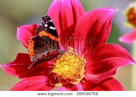 Painted Lady Butterfly Feeding On Red Dahlia, Closeup