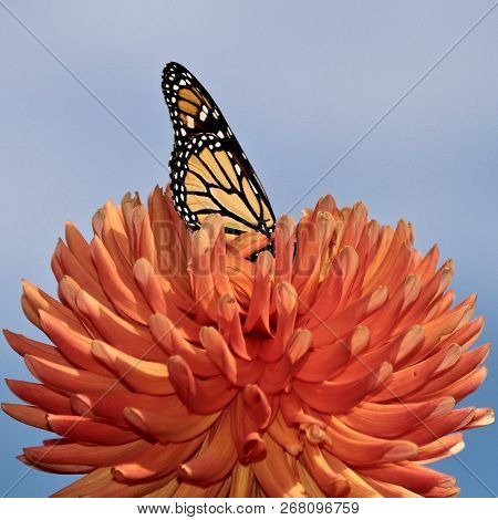 Beautiful Monarch Butterfly Feeding On An Orange Dahlia, Closeup