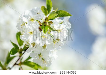 Spring Background Art With White Cherry Blossom