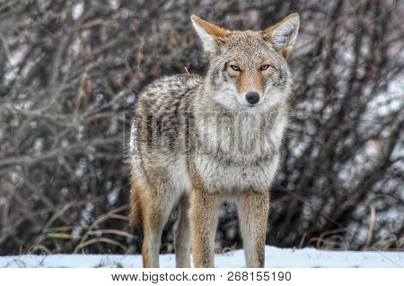 Random Coyote Staring Right At The Camera
