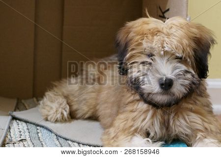 A Pure Bred Wheaten Terrier Puppy Dog In A Playful Mood.