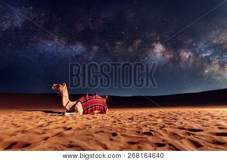 Camel Animal Is Sitting On The Sand Dune In A Desert. Milky Way Galaxy And Stars In The Sky. United