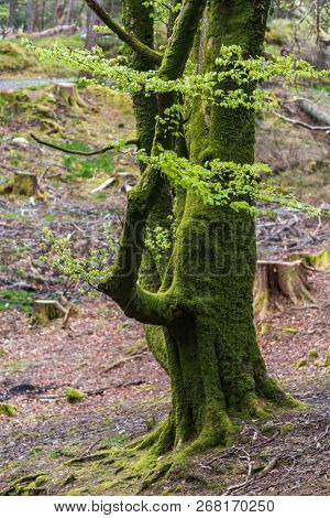 Tree With Moss On Roots In A Green Forest. Moss On Tree Trunk. Tree Bark With Green Moss During Spri
